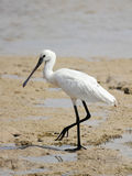 Spoonbill Stock Image