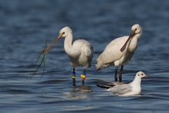 Spoonbill Stock Photo