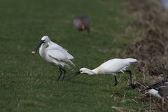 Spoonbill. Two spoonbills at a ditch side Stock Photo