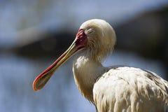 Spoonbill africano immagini stock