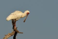 Spoonbill africano (platalea alba) Fotografia Stock