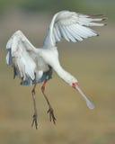 Spoonbill africano que aproxima-se aterrar Foto de Stock Royalty Free