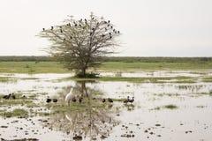 Spoonbill africano y gansos egipcios, lago Manyara, Tanzania Imagen de archivo libre de regalías