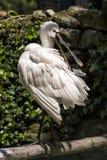 Spoonbill bevindt zich op een tak Royalty-vrije Stock Fotografie