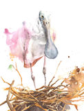Spoonbill big bird on a nest watercolor painting isolated on white background. Spoonbill big bird on a nest watercolor painting isolated Royalty Free Stock Photo
