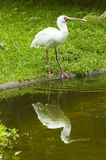 Spoonbill bird stock images