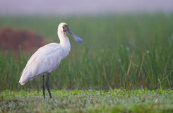 Spoonbill bird with copy space Royalty Free Stock Photo