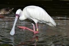 Spoonbill bird wading in water Stock Photos