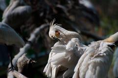 Spoonbill Birds - Platalea Leucorodia Royalty Free Stock Photography