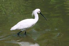 Spoonbill Black-faced imagem de stock