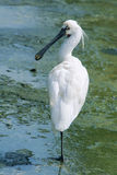 Spoonbill Black-faced Foto de archivo