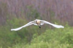 Spoonbill blanco eurasiático o común en vuelo, leucorodia del Platalea foto de archivo