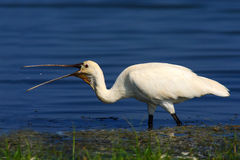 Spoonbill in the blue water with open bill. White gird with open beak. Eurasian Spoonbill, Platalea leucorodia, in the water, deta. Il of bird Royalty Free Stock Images