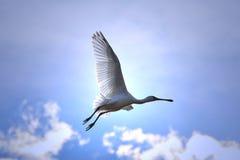 Spoonbill bocian Latać światło i błękit - Afrykański Dziki Ptasi tło - Zdjęcia Stock
