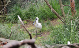 Spoonbill branco na grama Foto de Stock
