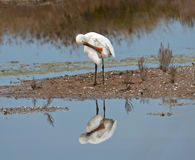 Spoonbill cleaning oneself Stock Photos