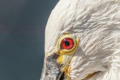 Spoonbill close up portrait. Common spoonbill Platalea leucorod. Ia Wildlife royalty free stock image