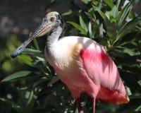 Spoonbill del rosa de la Florida fotografía de archivo