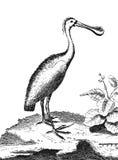 Spoonbill die (vogel waden) Stock Afbeeldingen