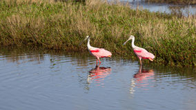 Spoonbill Duo stock images