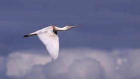 Spoonbill durante il volo fotografie stock libere da diritti