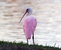 Spoonbill em um fio em Florida Fotos de Stock Royalty Free
