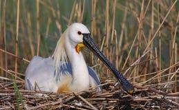 Spoonbill eurasiático Fotos de archivo