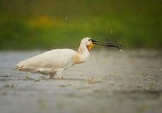 Spoonbill eurasiático, pesca rara del pájaro del whaite en la lluvia Foto de archivo libre de regalías