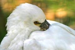 Spoonbill Stock Image