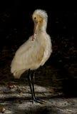 Spoonbill för fågelsamlingsibins Arkivbilder