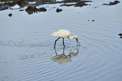 Spoonbill (fam; Threskiornithidae) Stock Photo