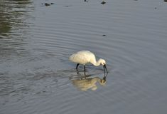 Spoonbill (fam; Threskiornithidae) Stock Photos