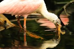 Spoonbill feeding underwater Royalty Free Stock Images