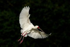 Spoonbill in flight Stock Images