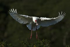 Spoonbill in flight Royalty Free Stock Photos