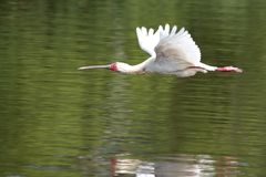 Spoonbill in Flight. A spoonbill bird in flight over the water of a dam Royalty Free Stock Photography