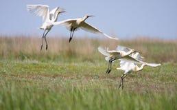 Spoonbill flock Stock Image