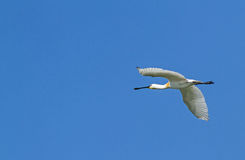 A Spoonbill Royalty Free Stock Photo