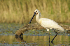 Spoonbill Stock Photography