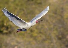Spoonbill in full flight stock images
