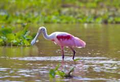 Spoonbill hunting Stock Photos