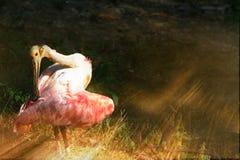 Spoonbill i ljusa strålar för afton arkivfoto