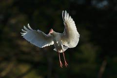 Spoonbill lądowanie Zdjęcia Stock