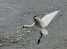 Spoonbill landing Royalty Free Stock Photography