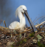 Spoonbill on nest - Japan Royalty Free Stock Photography