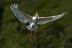 Spoonbill nesting Royalty Free Stock Photography