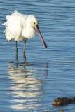 Spoonbill på den Poole hamnen Fotografering för Bildbyråer