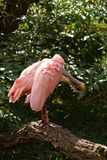 Spoonbill pink Royalty Free Stock Photography