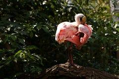 Spoonbill pink Stock Photo