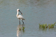 Spoonbill (Platalea leucorodia) Royalty Free Stock Photo